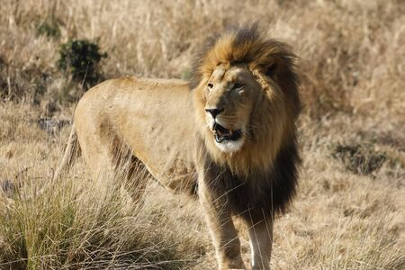A Southeast African Lion or Transvaal Lion in National Zoological Gardens of South Africa, Pretoria