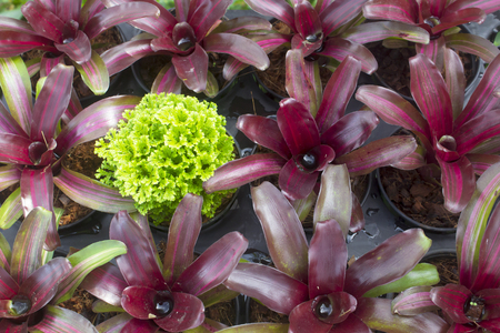 The ornamental green in the pot is different from the other,different concept,bromelied.
