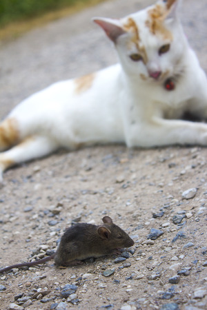 The white cat looked the rat as a victim.