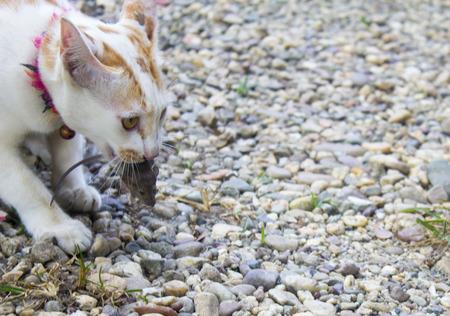 The white cat bites the rat as a victim,copy space. 免版税图像
