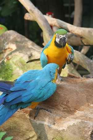 Parrots standing on a stone talking with each other photo