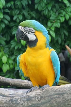 Talking Parrot Commonly Found in the Tropics photo