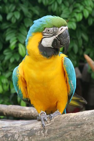 Talking Parrot Commonly Found in the Tropics Stock Photo - 3593921