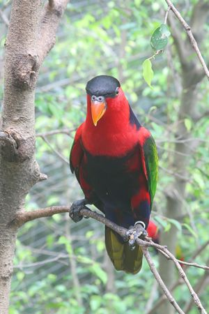 Colorful Lori Parrot Commonly Found in the Tropics photo