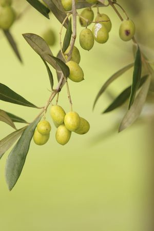 unprocessed: Olive Tree With Branches and Leaves Unplucked