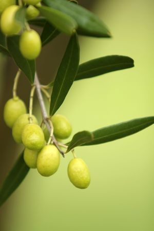 unprocessed: Olives Hanging From an Olive Tree Branch