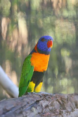 Rainbow Lori in a Australian Bird Park photo