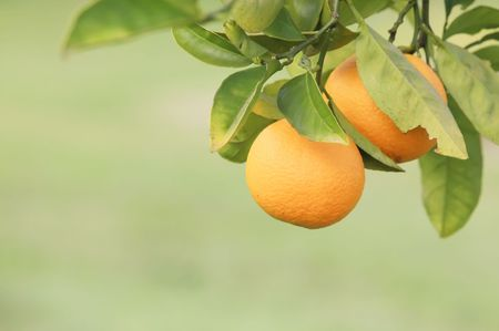 orange grove: Oranges Hanging on a Fruit Tree Branch in a Farm Stock Photo