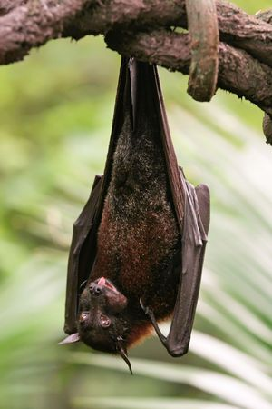 upside down: Bat Hanging Upside Down on  Branch