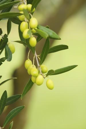 rama de olivo: Rama de olivo en un �rbol del jard�n de granja org�nica  Foto de archivo