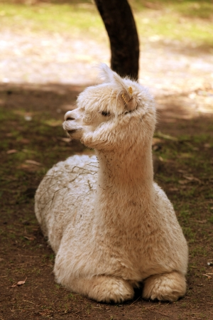 Alpaca Resting in a Petting Zoo Outdoors photo