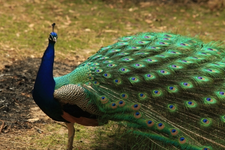 Peacock with Full Plumage Open and Colorful photo