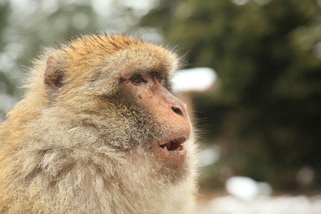 barbary ape: Barbary Ape or Macaque in Morocco Stock Photo