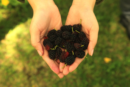 Handful of Mulberry Berries Fresh and Sweet photo