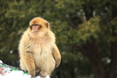 sylvanus: Barbary Ape or Macaque in Morocco Stock Photo