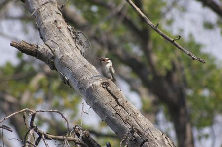 pied: Pied Kingfisher