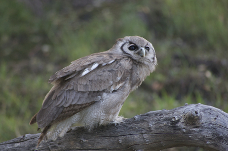 juveniles: Giant Eagle Owl Stock Photo
