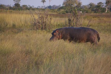 grazing: Hippo Grazing Stock Photo