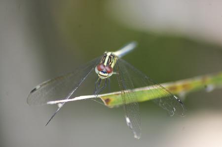 resting: Resting Dragonfly