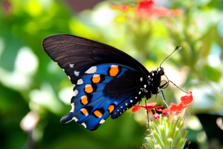 swallowtail: Pipevine Swallowtail Butterfly