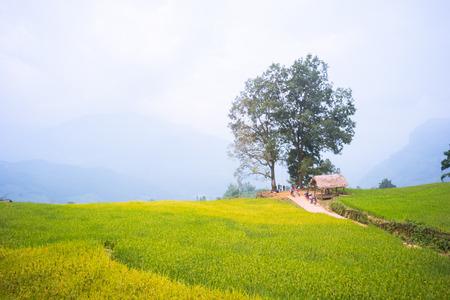 YU, SAPA, LAO CAI - September 2, 2017: rice ripe on terraced fields, rice farmers in Lao Cai, North of Vietnam