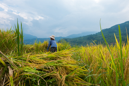 rice ripe on terraced fields, rice farmers in Lao Cai, North of Vietnam