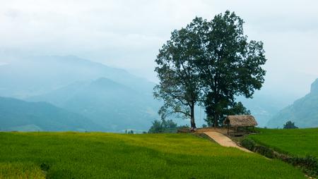 arando: YU, SAPA, LAO CAI - 2 de septiembre de 2017: arroz maduro en campos en terrazas, agricultores de arroz en Lao Cai, al norte de Vietnam