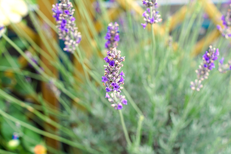 lavandula angustifolia: close-up lavender flowers Stock Photo