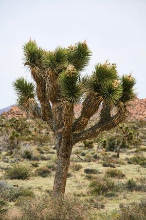 joshua tree national park: A Joshua Tree in Joshua Tree National Park - California