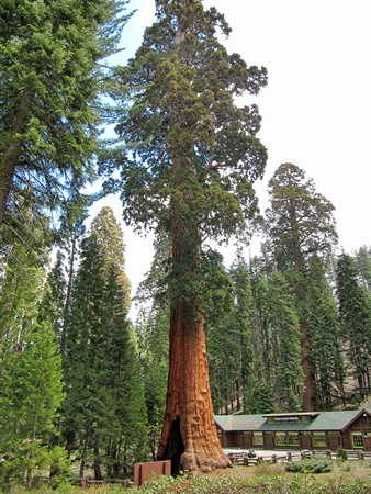 The huge Sequoia trees compared with a house Stock Photo