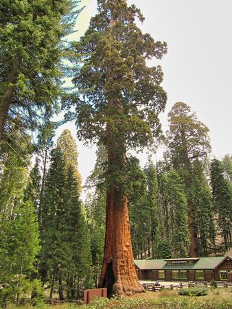 Giant sequoia trees in Sequoia National Park - California