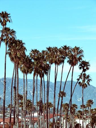 Palm group in Santa Barbara, California -Vintage Stock Photo