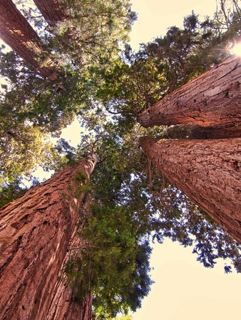 A group of giant sequoia trees in Sequoia National Park - California
