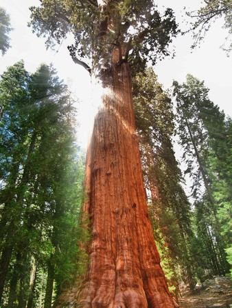The General Sherman tree, the large largest tree on Earth