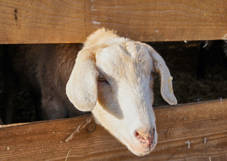 Goat stick out of his barn - close up