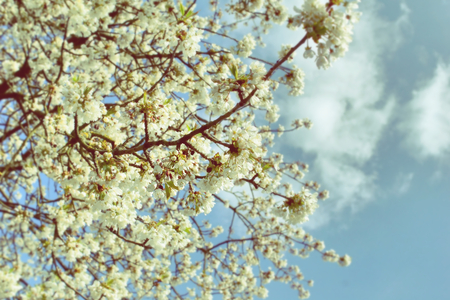Blurry cherry tree isolated on white background