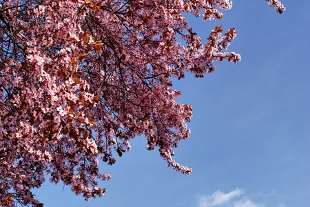 Pink plum tree flower with a background blue sky