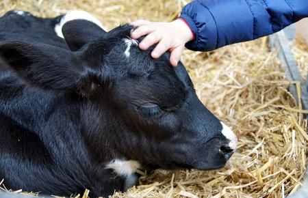 A childs hand caresses a little calf