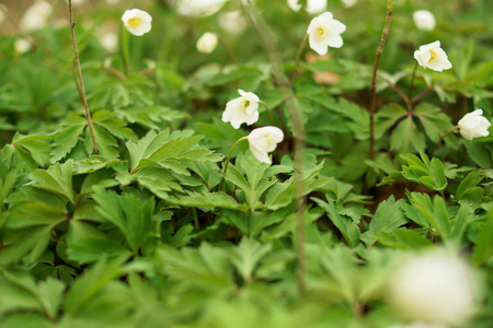 A green field of white Anemone