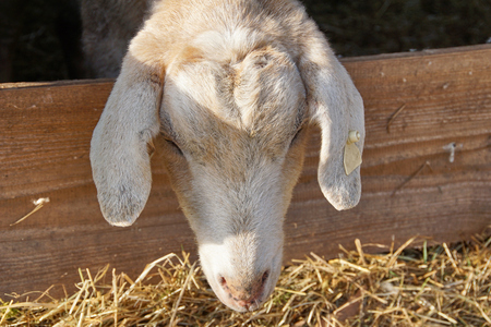 Goat stich out of his barn - close up Stok Fotoğraf
