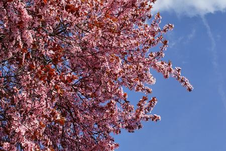 Pink plum tree with a background blue sky. Stok Fotoğraf