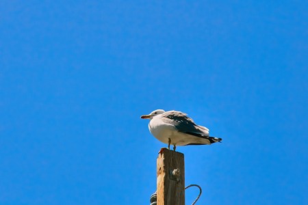 Seagull perched on the top of an electric pole. Stok Fotoğraf