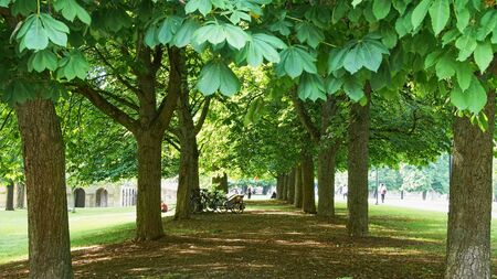 Rows of chestnut trees on a german castle park - Monrepos, Ludwigsburg, German