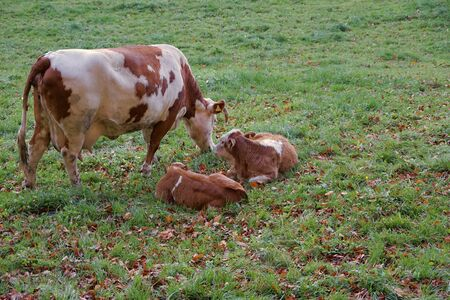 view brown cows and calf grazing in autumn meadow Stok Fotoğraf