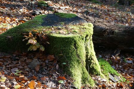 Old tree log cover with moos in autumn Stok Fotoğraf