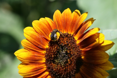 laden: Bumblebee on sunflower laden with pollen