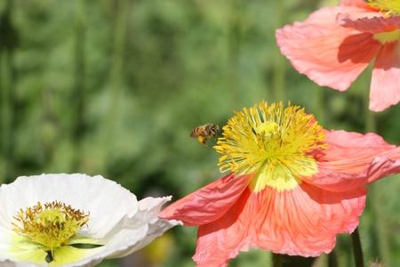 Bee collecting pollen in flight