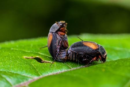 matting: Macro photography showing a close up view of matting bugs Stock Photo