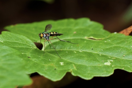 long legged: Macro photography showing a close up view of A long legged fly