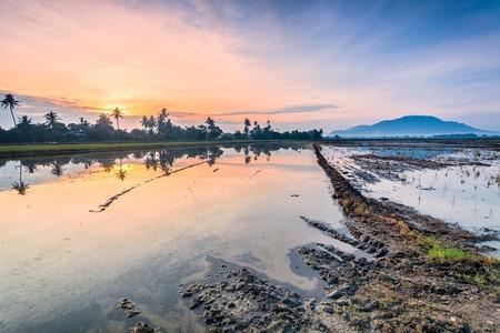 bukit: Reflection Sunrise in Paddy Field in Bukit Mertajam Penang, Malaysia